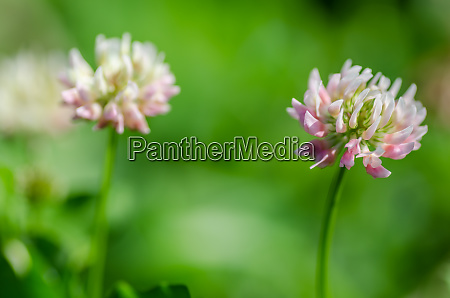 red clover detail