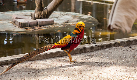 male golden pheasant also called the