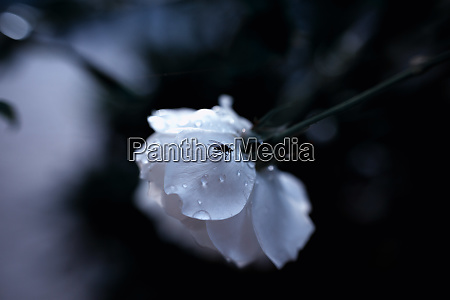 white rose with black fly and