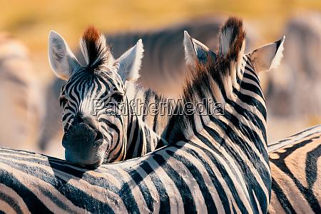 zebra in bush namibia africa wildlife