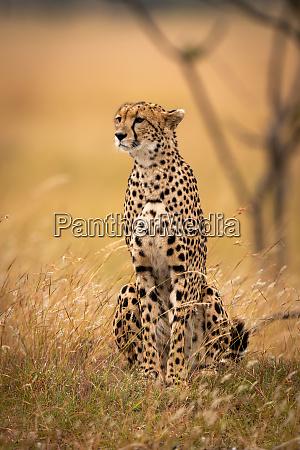 cheetah sits in long grass beside