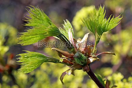 fresh foliage at spitzahorn acer platanoides