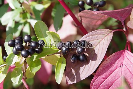 small black berries in front of
