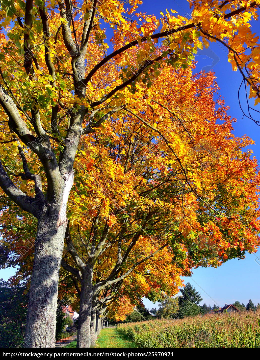 Trees With Golden Autumn Leaves In Full Sun Against A Stock
