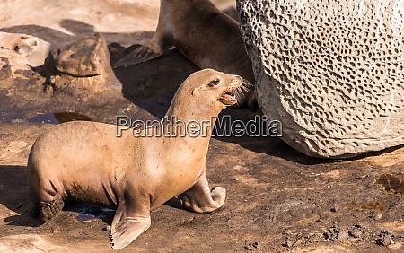 sea lion walking on the rocky