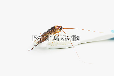 cockroach on toothbrush isolated on white