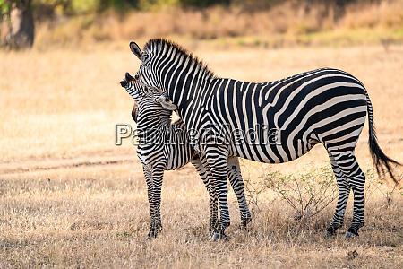 this zebra family lives in lower