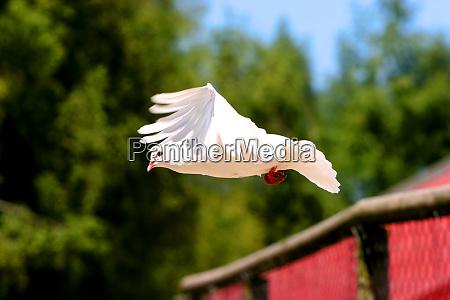 beauty white dove