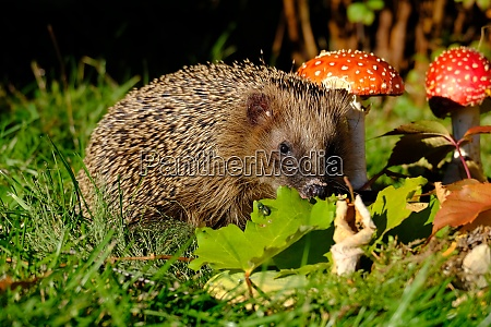 hedgehogs look for food
