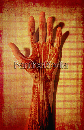 mans hand with muscle and tendons