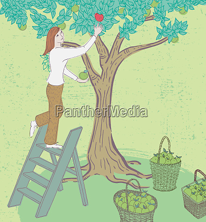 woman picking green apples and reaching