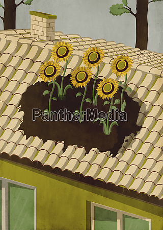 sunflowers growing on roof