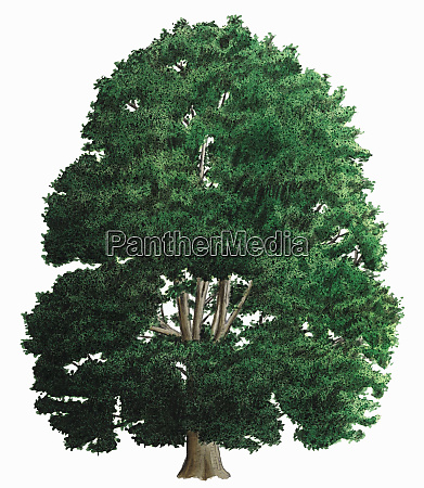 single tree on white background small