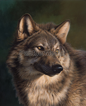 timber wolf looking round
