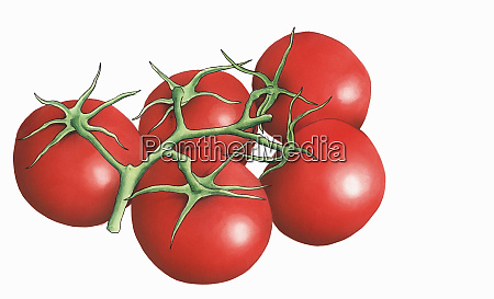 red elegance tomatoes on the vine