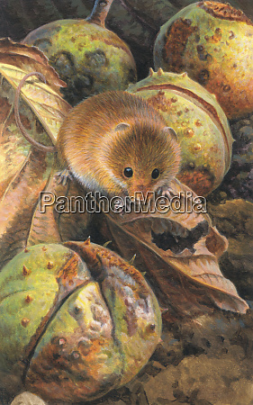 harvest mouse among autumn leaves and