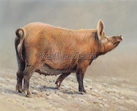 tamworth pig