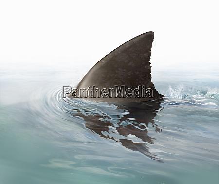 shark fin swimming in ocean