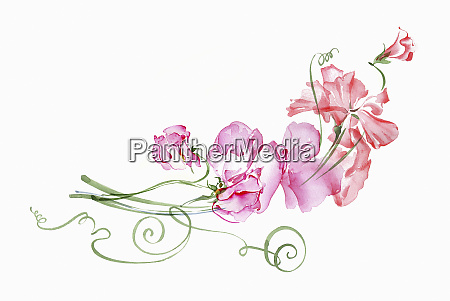 watercolour painting of pink sweet peas