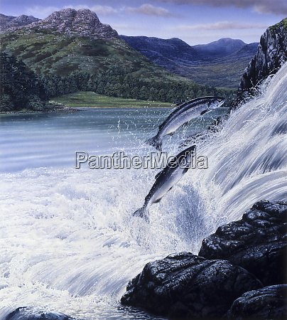 salmon leaping up waterfall in rugged