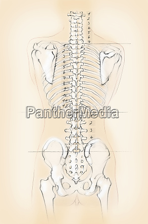 diagram of the human spine with