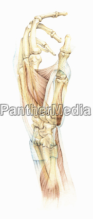 biomedical illustration of the bones and