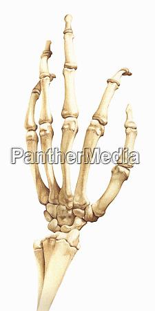 biomedical illustration of bones in the