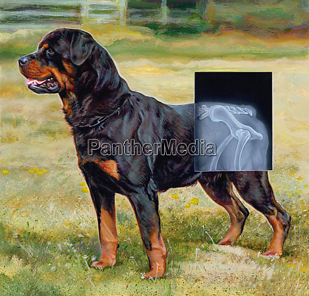 rottweiler dog with x ray over