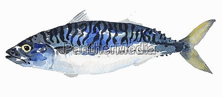 watercolor painting of mackerel