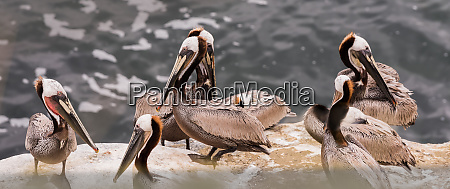 panoramic view of brown pelicans on