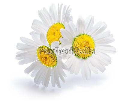 backlit chamomile flowers