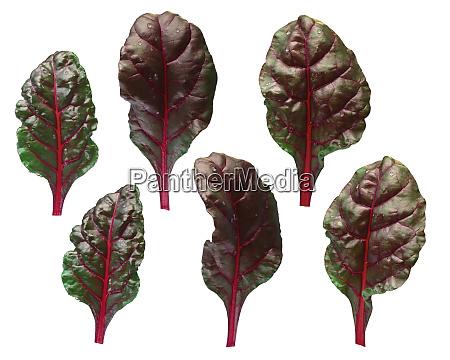 set of chard silverbeet mangold leaves