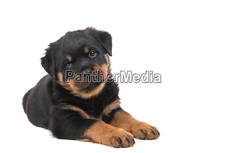 cute rottweiler puppy lying down and