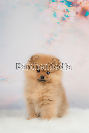 cute small pomeranian puppy dog sitting
