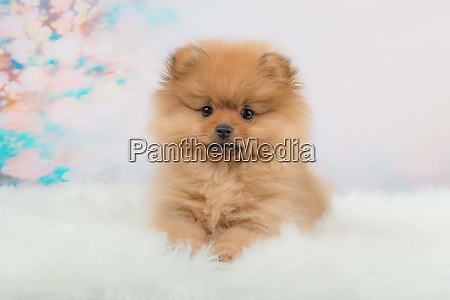 cute fuzzy pomeranian puppy lying in