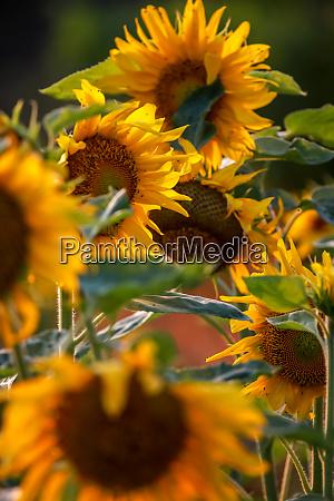 sunflowers on meadow in latvia