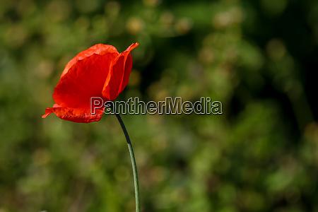 red poppy in green grass
