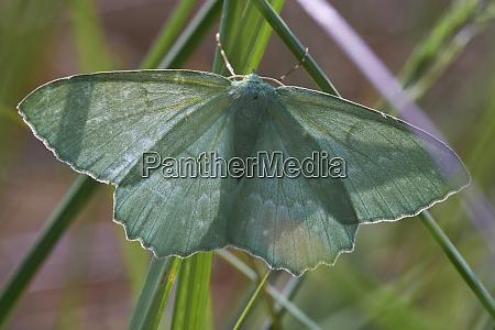 geometer moth top view