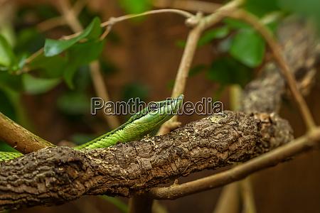 longnose bush viper
