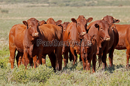free-range, cattle, on, rural, farm - 26052771
