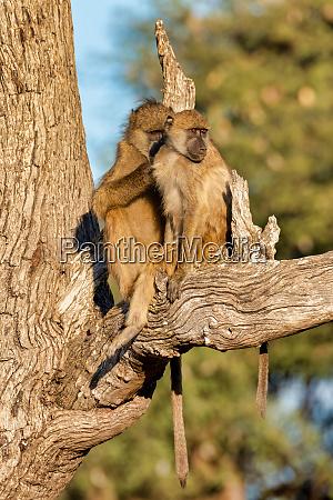 monkey chacma baboon namibia africa safari