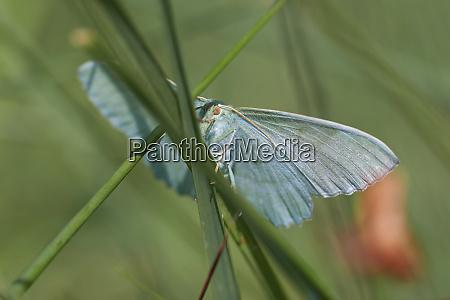 geometer moth side view