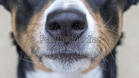 appenzeller mountain dog dog nose snout