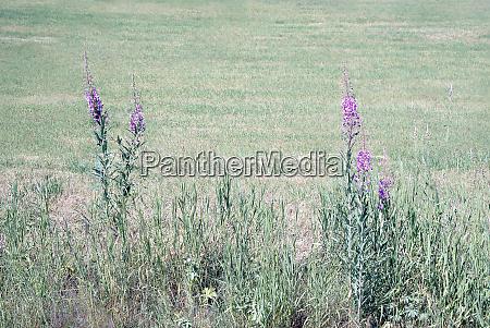 idyllic blooming purple wildflowers with sunshine