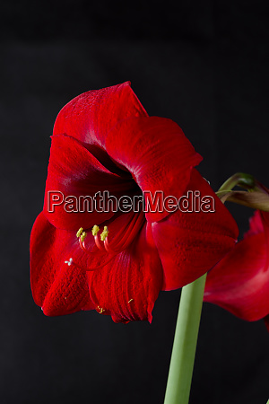 amaryllis in red