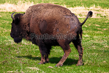 a woods bison having a pee