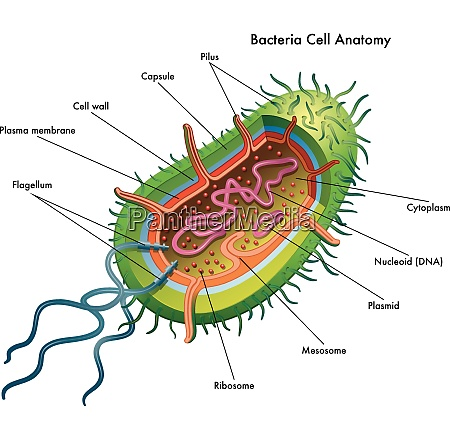 medical illustration of the bacteria cell