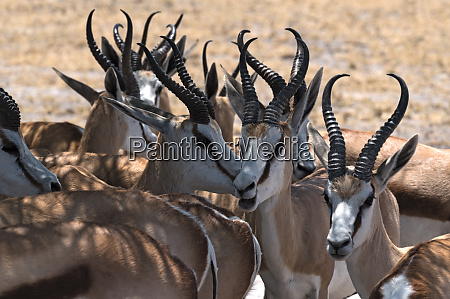 a group of male impala antelopes