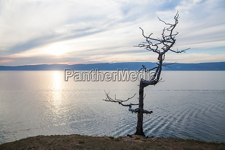 ttree on the olkhon island in