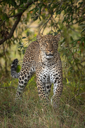 leopard walking through long grass towards